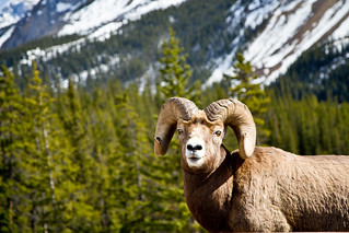 Bighorn Sheep - Icefields Parkway | by Shauna Stanyer (Northern Pixel)
