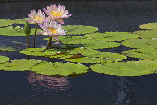 Water lilies | by Lucie Maru