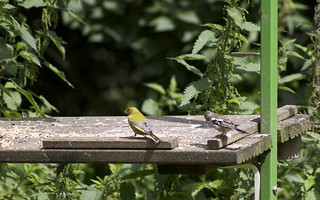Greenfinch and Female Chaffinch | by Paul Deuble