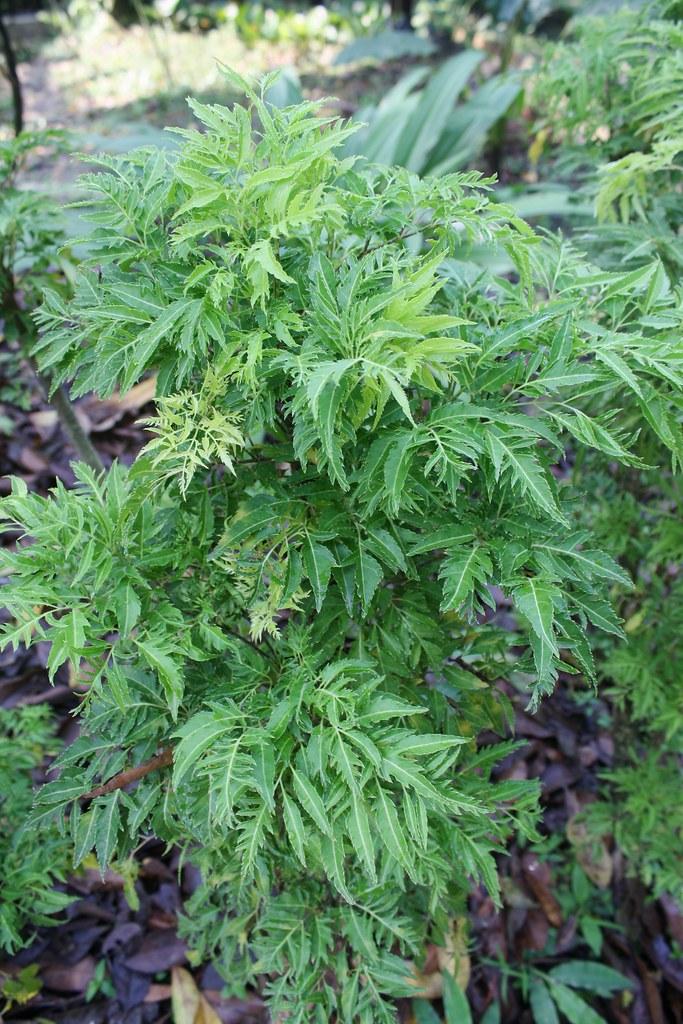 polyscias fruticosa  l   harms cv   u0026quot elegans u0026quot