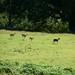New Forest Deer (2)