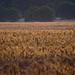 Far away wheat