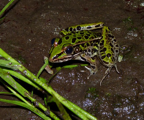 Leopard Frog | by Dendroica cerulea