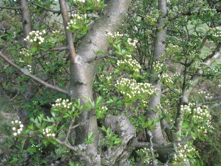 Hawthorn Tree Bark Hawthorn Bark Buds
