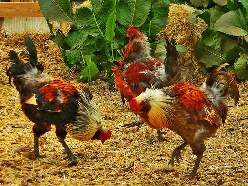 Strutting Roosters