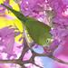 Série com o Tuim-de-Asa-Amarela, Periquito, Maritaca (Brotogeris chiriri chiriri) no Ipê-Roxo Bola (Tabebuia impetiginosa) -  Series with the Yellow-chevroned Parakeet (Brotogeris chiriri chiriri) at the Pau D'Arco Bark - 07-06-2012 - IMG_9905
