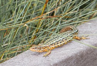 Lizard at Flanders Moss | by Eric Begbie