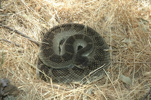 rattler by the woodpile | by Trichostema