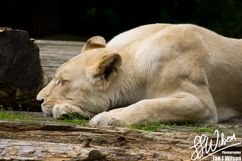 Let Sleeping Lions Lie | by Ian J Wilson
