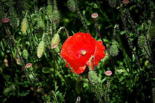 Poppies in the allotment | by Claire Fun