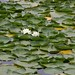 Green Lake Water Lillies.