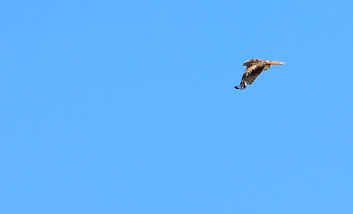 Red Kite in Flight | by RJP_Blob