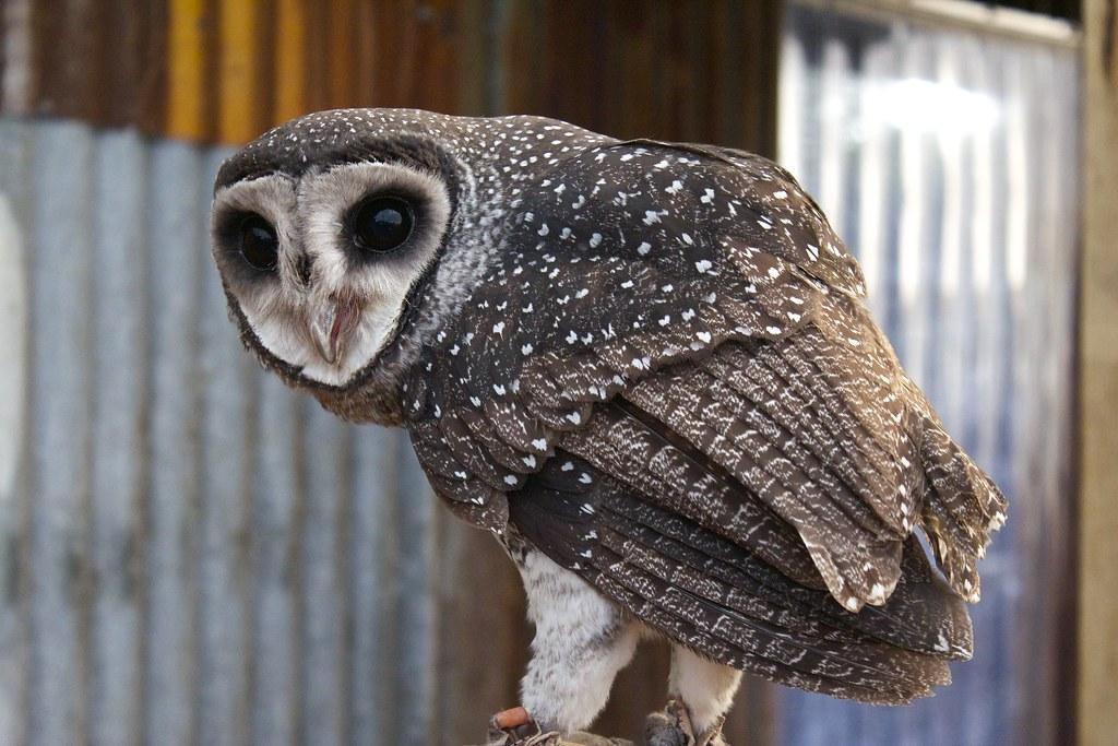Sooty Owl Damien Alba Flickr