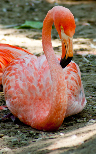 Flamingo | by fabyblueblue