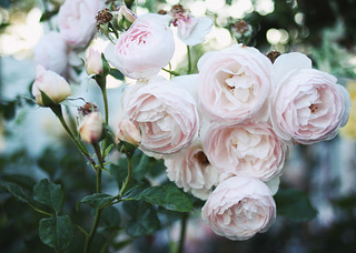 roses | by AMM blog