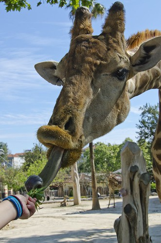 That funny giraffe - Lisbon Zoo | by Hugo Carvoeira