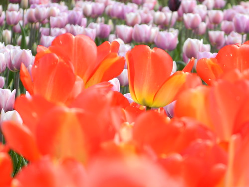 Tulips In Bloom | by careth@2012