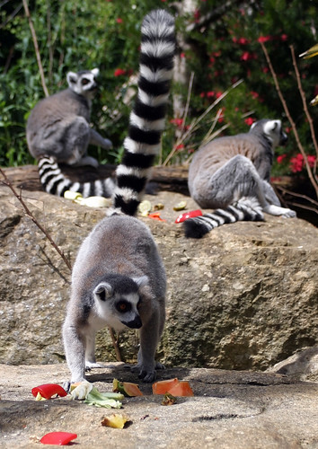 Ring Tailed Lemur @ Bristol Zoo | by Pânts
