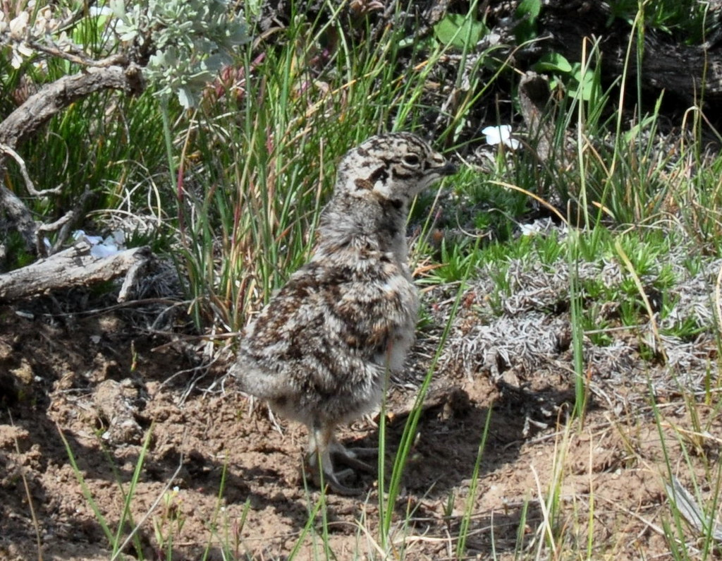 Baby sage grouse - photo#4