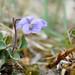 Teesdale Violet (Viola rupestris) Upper Teesdale