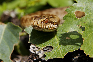 Adder 07 | by Mike G Photos