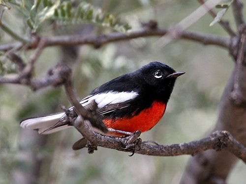 1painted redstart mike williams laf | by Contra Costa Times