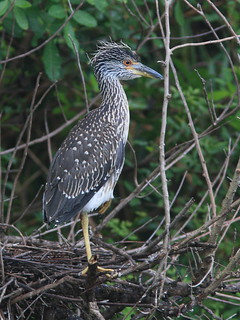 Yellow-crowned Night-Heron immature 20120724 | by Kenneth Cole Schneider