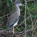 Yellow-crowned Night-Heron immature 20120724