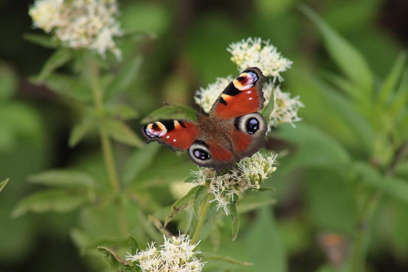fil(et) à papillons - Page 10 28512937744_d6a38346ae_c