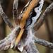 Nursery web spider II