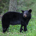Cades Cove Black Bear