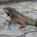 Iguanas 16
