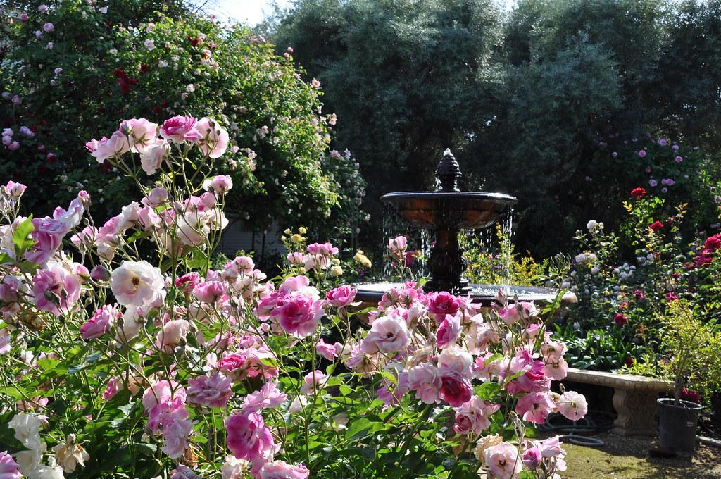 фото розами