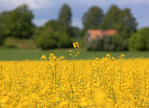 Canola Flower | by Steffe