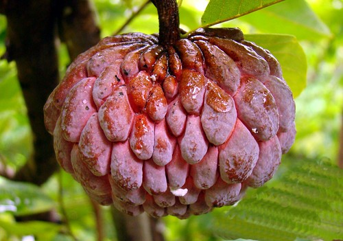 Sugar Apple  #12: RED  #1  /  (Bangla = আতা) | by 3Point141