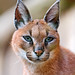 Portrait of a caracal II
