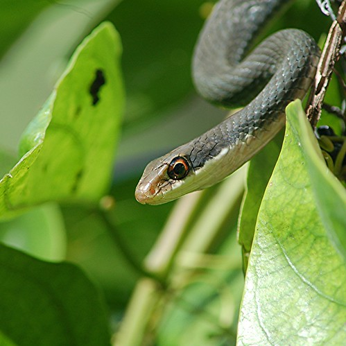 Everglades Racer is sunning on top of mound of Aristolochia leaves! | by jungle mama