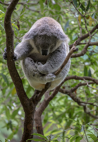Sleepy koala | by Sheila Smart Photography