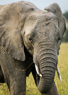 Elephant close up | by Greg McMullin