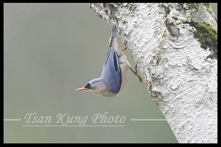 Velvet-fronted Nuthatch-11 | by tsankung2009