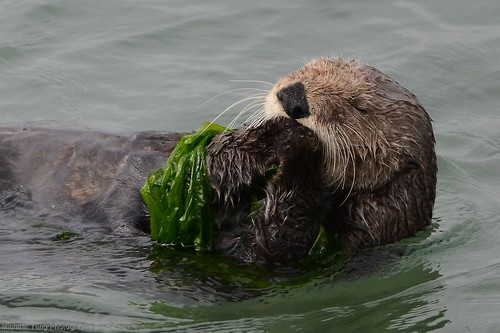 Sea otter with seaweed blankie | by ottersdontflush