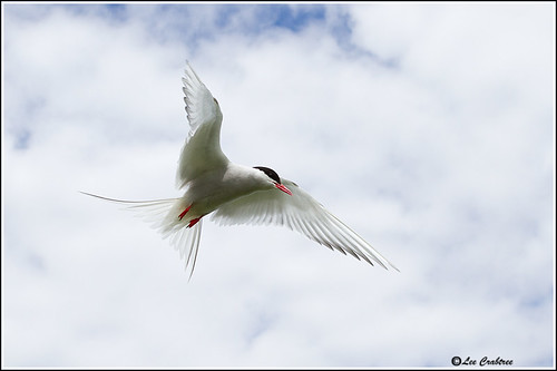 arctic tern _0744 | by Lee Crabtree photography