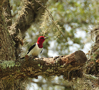 28/52 Red Headed Woodpecker | by Denise Rose Photography
