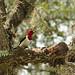 28/52 Red Headed Woodpecker