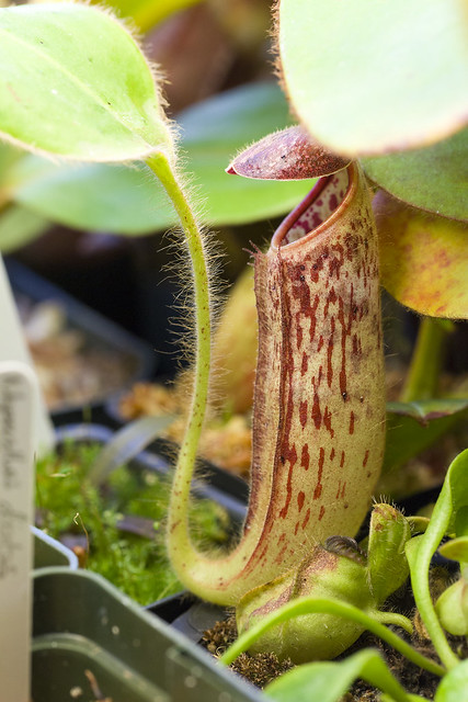 Nepenthes glandulifera BE