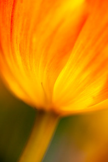 Tulip abstract | by Dennis Wong