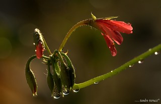 Drop and Red Flowers | by Skizzoframe