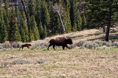 Bison and the Baby | by Foxy Photog