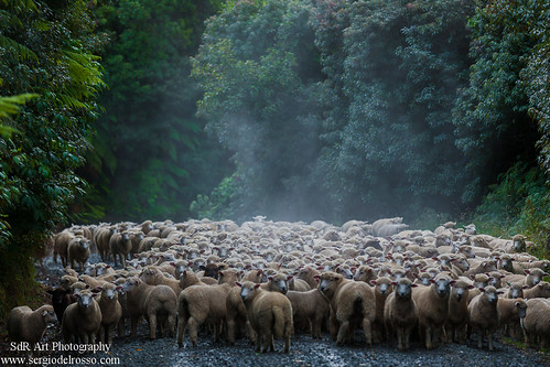 NZ Sheep | by SdR Art Photography