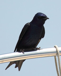 Purple Martin at Belle Haven | by Mr.TinDC